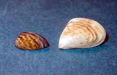 Zebra (left) and quagga mussels