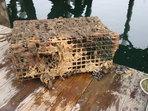 Sea squirt (Didemnum vexillum)